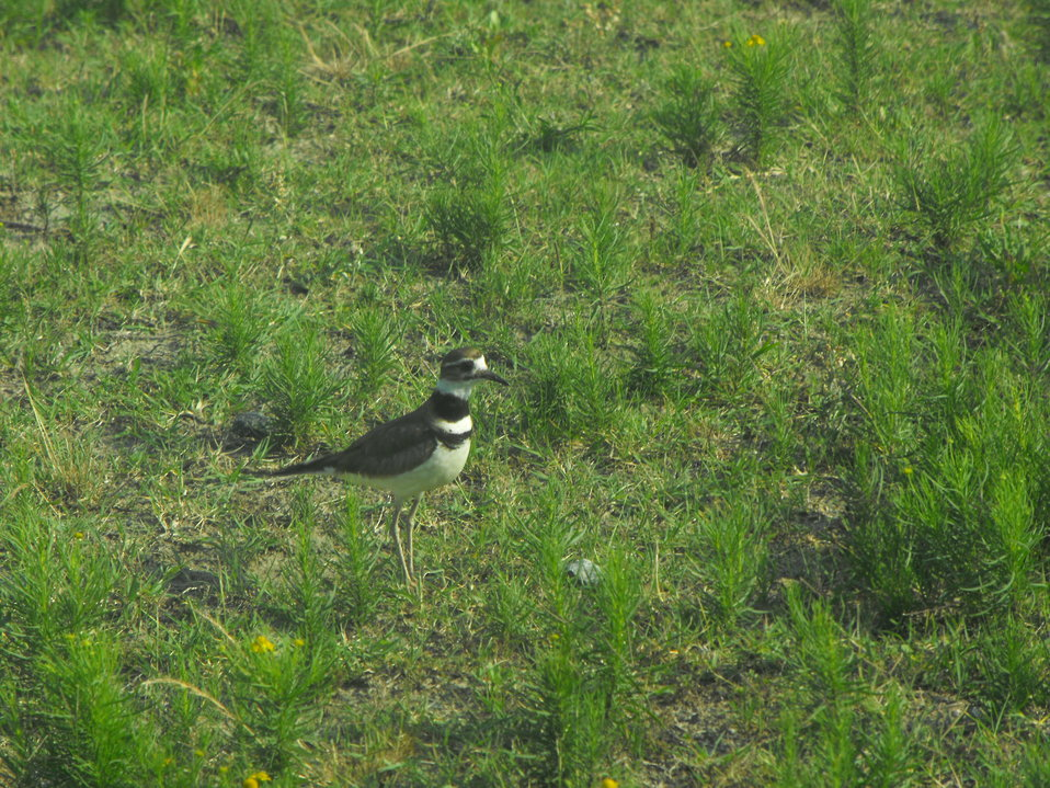 Killdeer guards nest