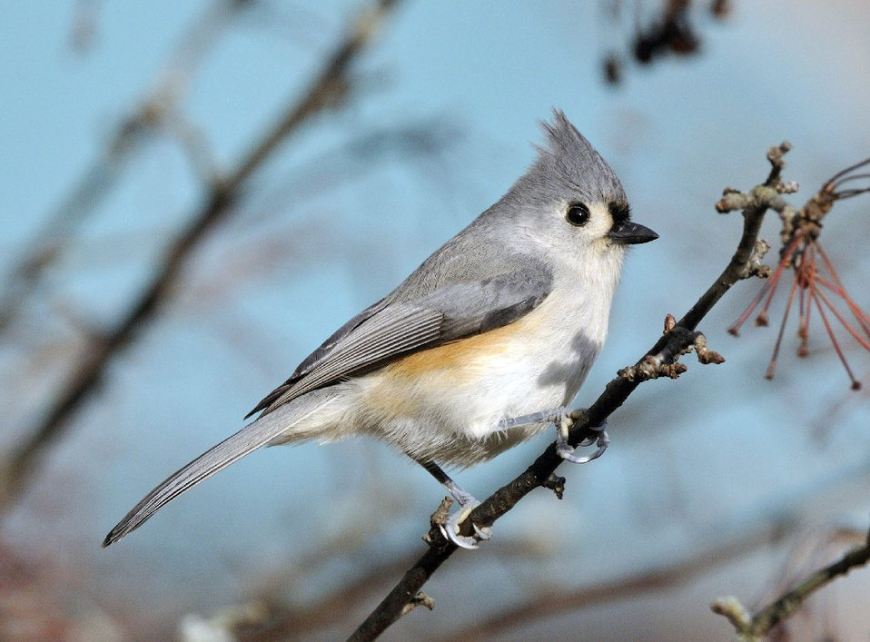 Photo of the Week - Tufted titmouse (MA)