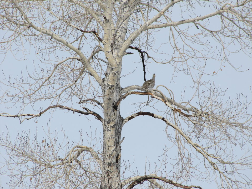 Sharp-tailed Grouse in Tree