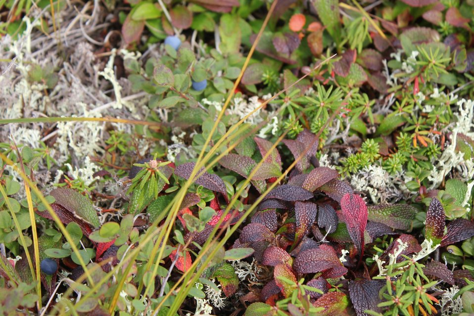 Blueberries on the tundra (Vaccinium sp.)