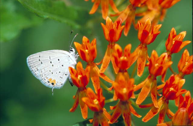 eastern tailed-blue butterfly on butterfly weed