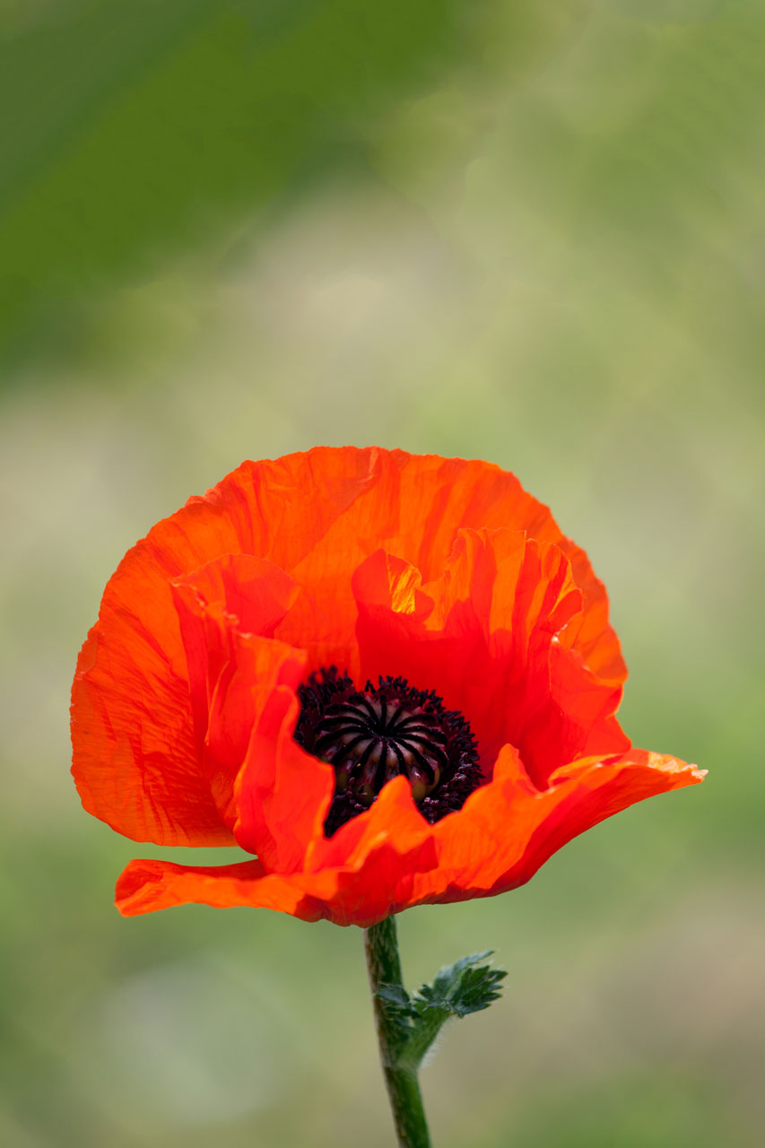 Public Domain Picture Red Poppy Flower Id 13977176418728