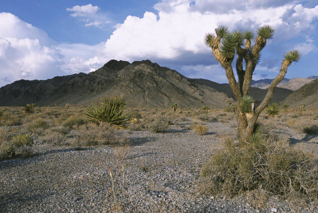 Joshua tree in the desert
