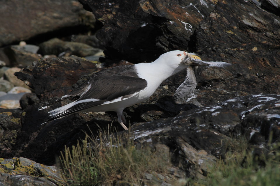 Great  Black-Backed Gull Eating a Tern Chick