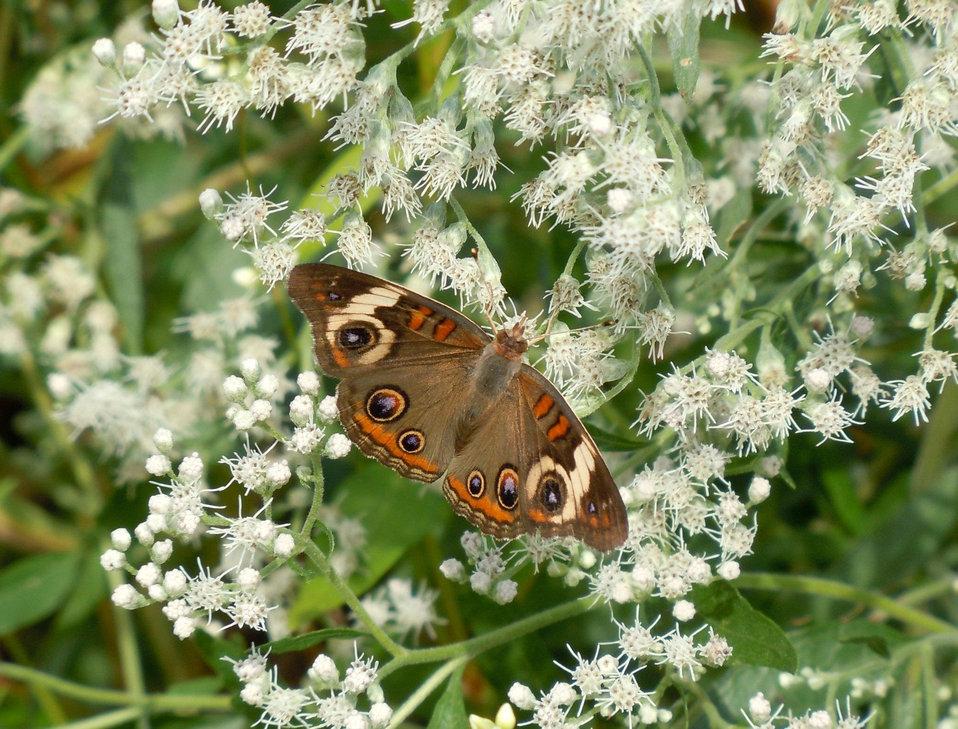 buckeye butterfly on white flowers