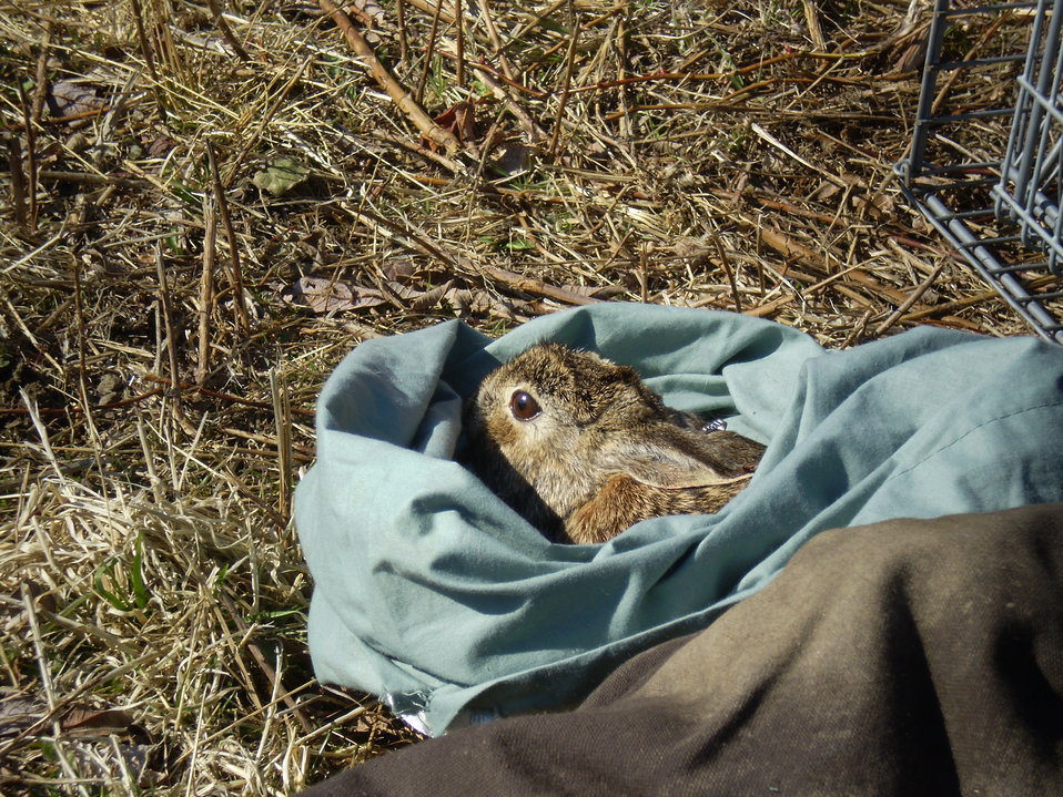 Finding New England cottontails