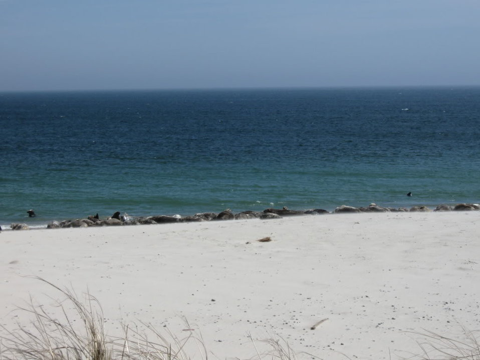 Seals at Monomoy National Wildlife Refuge