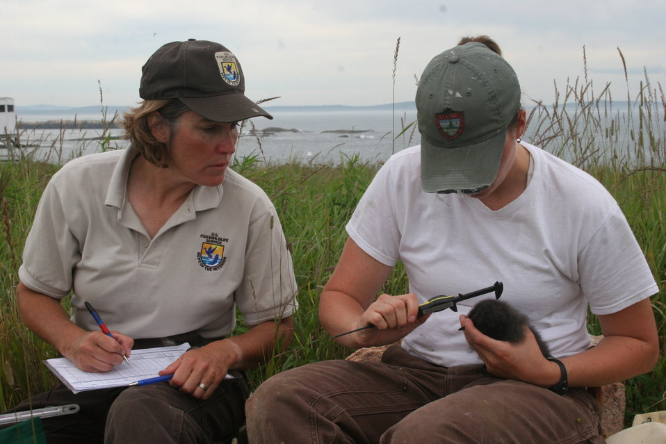 FWS Workers Measuring Razorbill