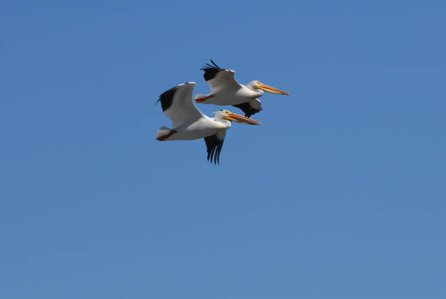 American white pelicans in flight