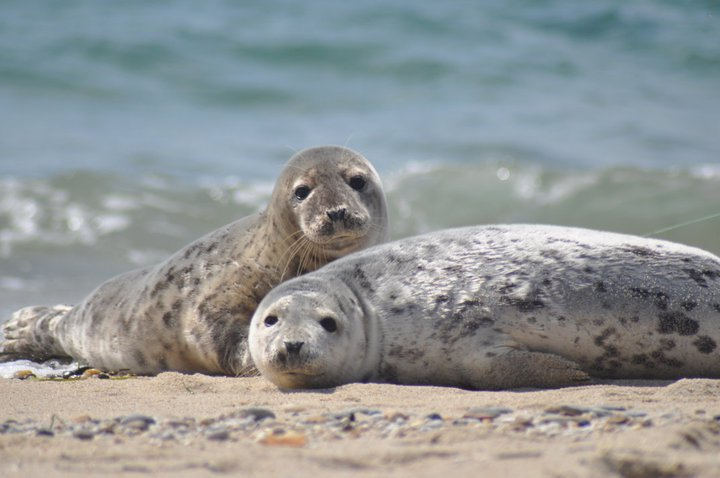 Seals at Nantucket National Wildlife Refuge