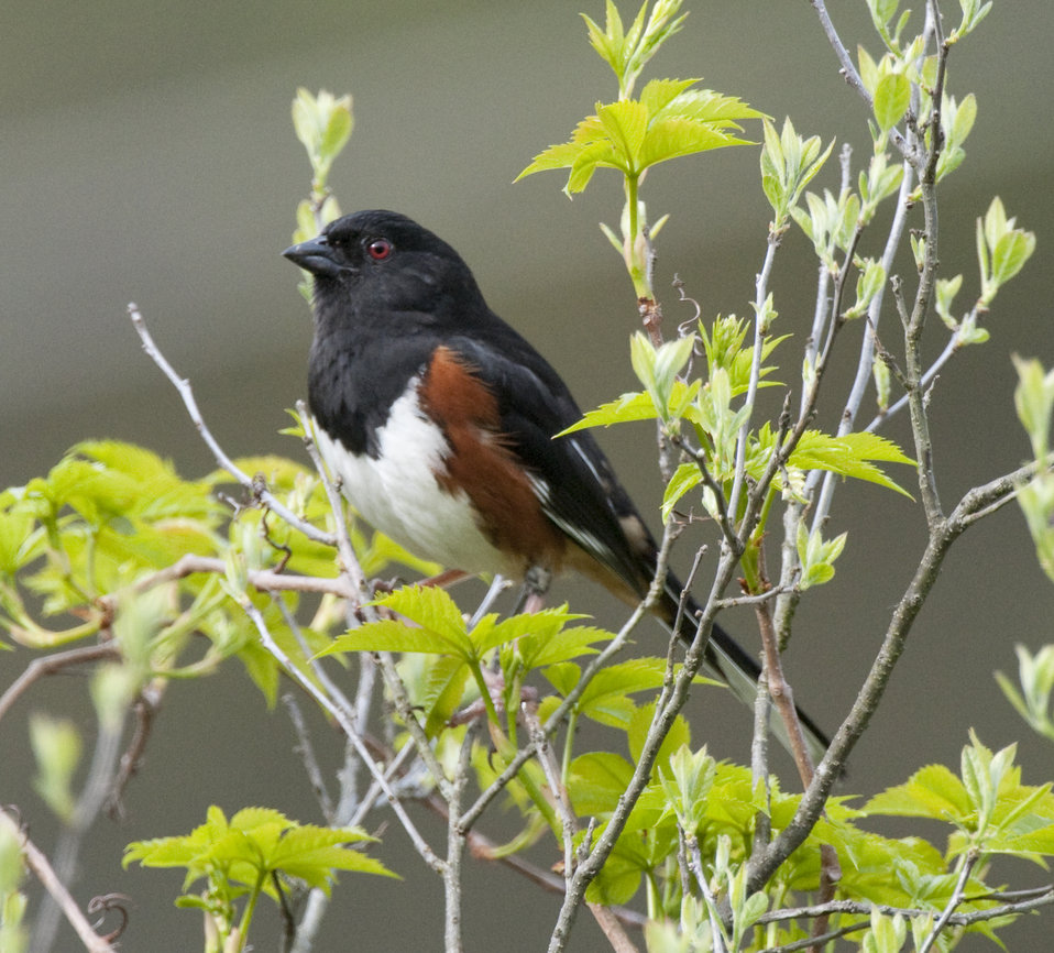 Photo of the Week - Male eastern towhee at the Quabbin Reservoir (MA)