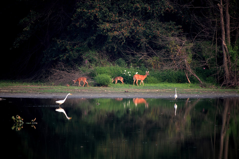 Deer and egrets