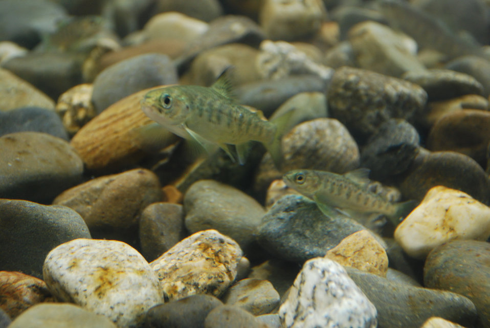 Atlantic Salmon Parr in Cobble Habitat