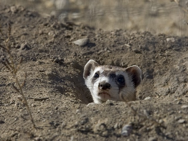 Black-footed Ferret Peers Out of Burrow