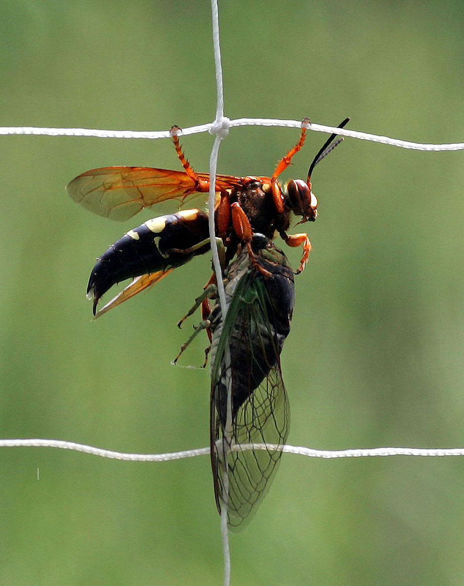 Ciccada killer wasp with ciccada