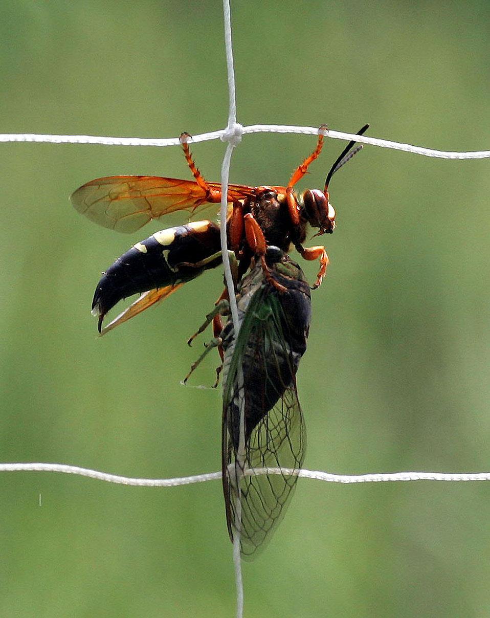 Ciccada killer wasp with ciccada