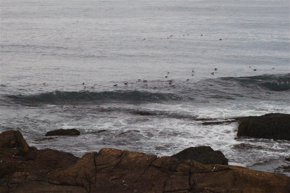 Puffins In Water
