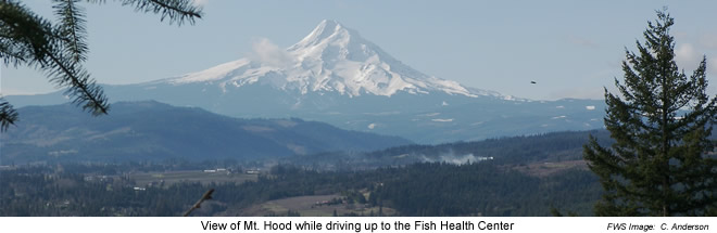 View of Mt. Hood from Lower Columbia River Fish Health Center