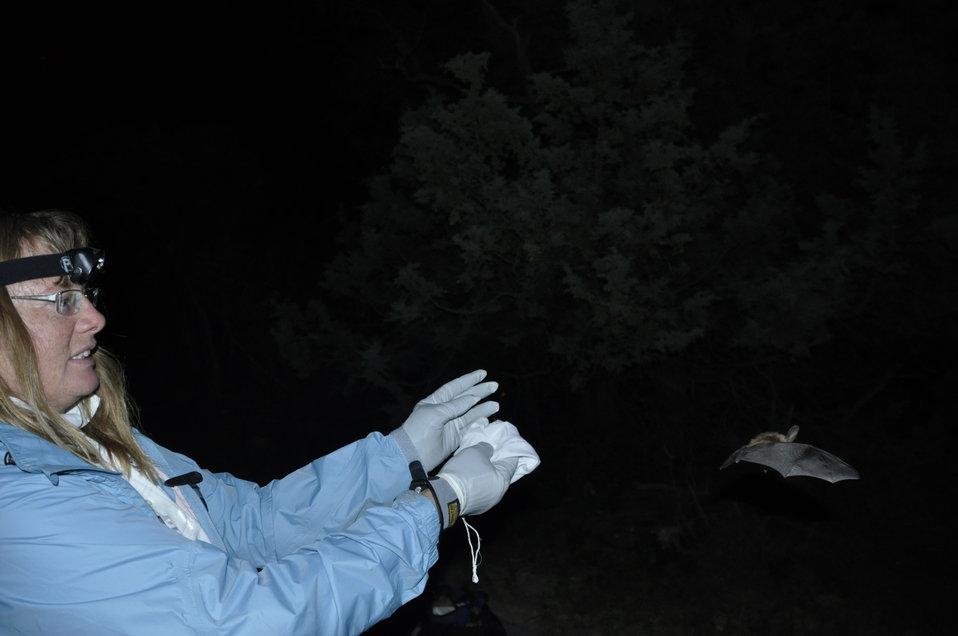 Wildlife biologist releases bat