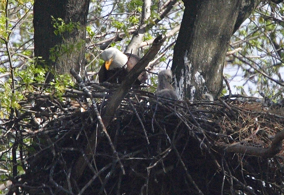 Bald eagle with young at John Heinz National Wildlife Refuge