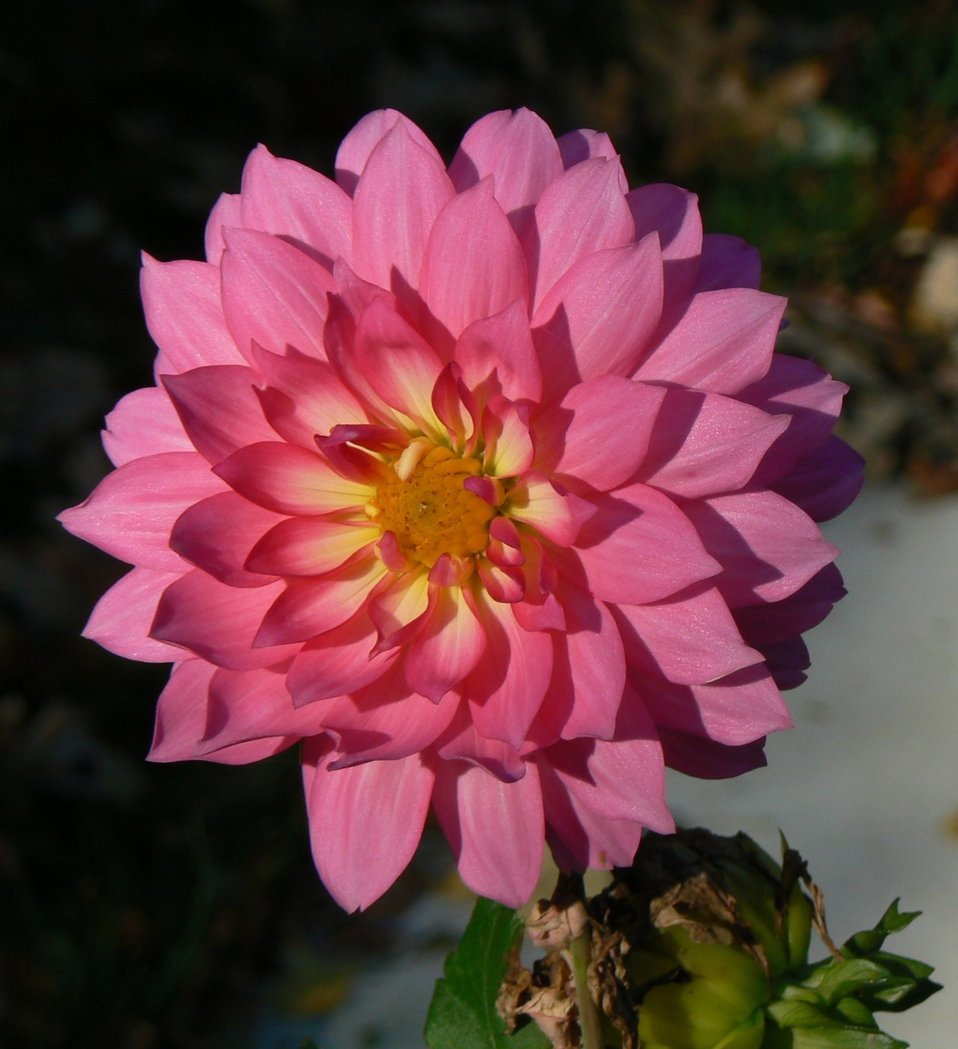 Photo of the Week - Dahlia at Sunrise