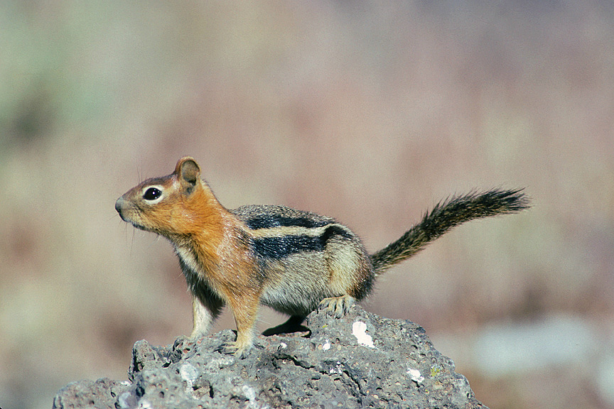 Ground Squirrel at Tule Lake NWR