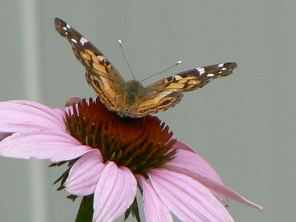Purple Coneflower and American Painted Lady
