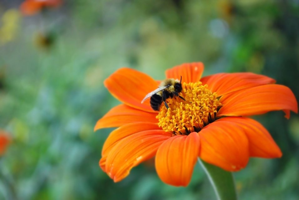 Bee on a beautiful orange flower
