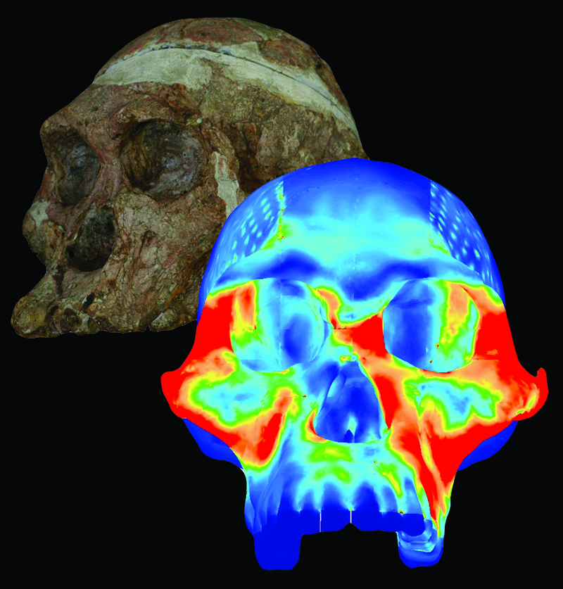 Toothsome Research: Deducing the Diet of a Prehistoric Hominid