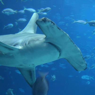 #18 - U.S. Supports Hammerhead Shark Proposals