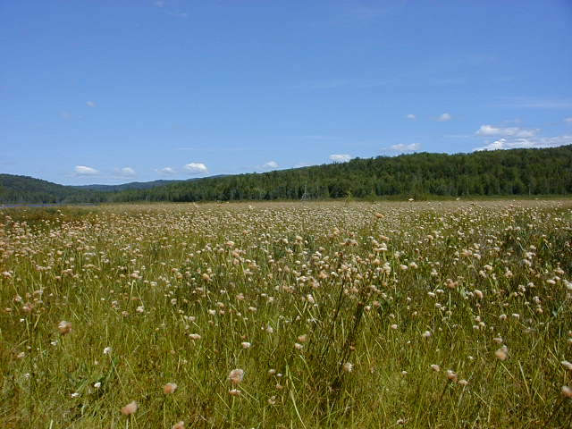 Umbagog National Wildlife Refuge - Cottongrass in Harper's Meadow