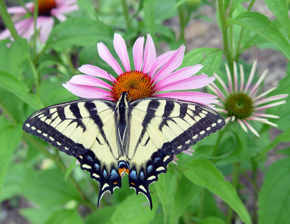 Photo of the Week - Swallowtail butterfly on coneflower, MA