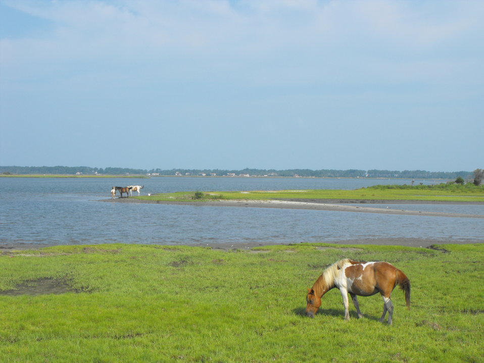 Chincoteague ponies grazing