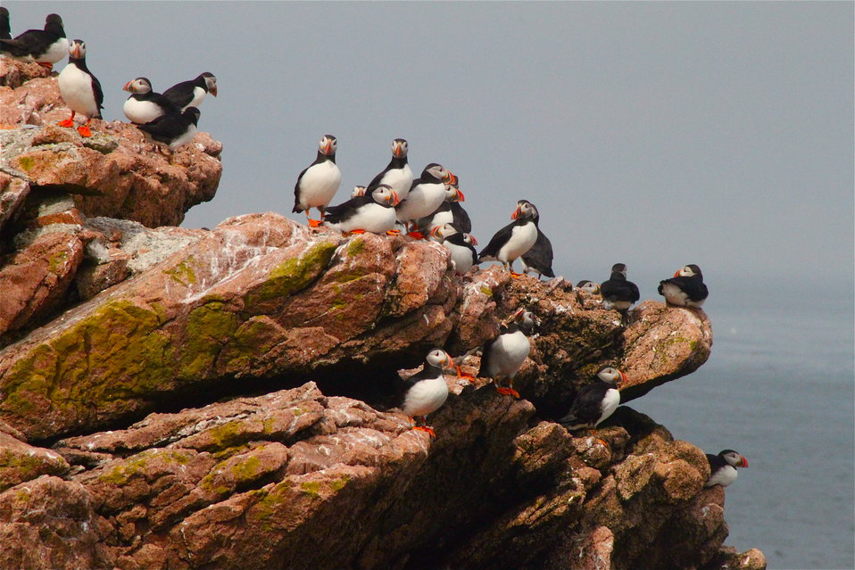 Puffins On Cliff