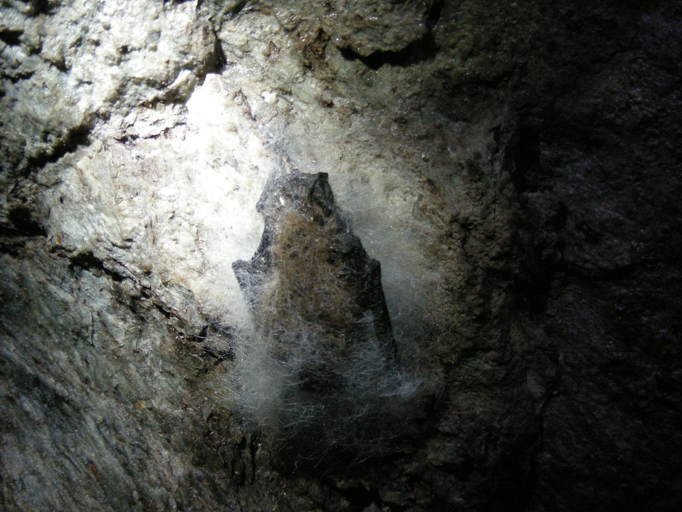 Bat affected by White-nose Syndrome