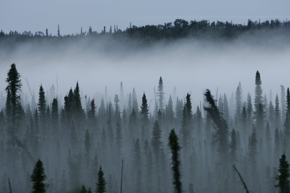 Misty Black Spruce Forest