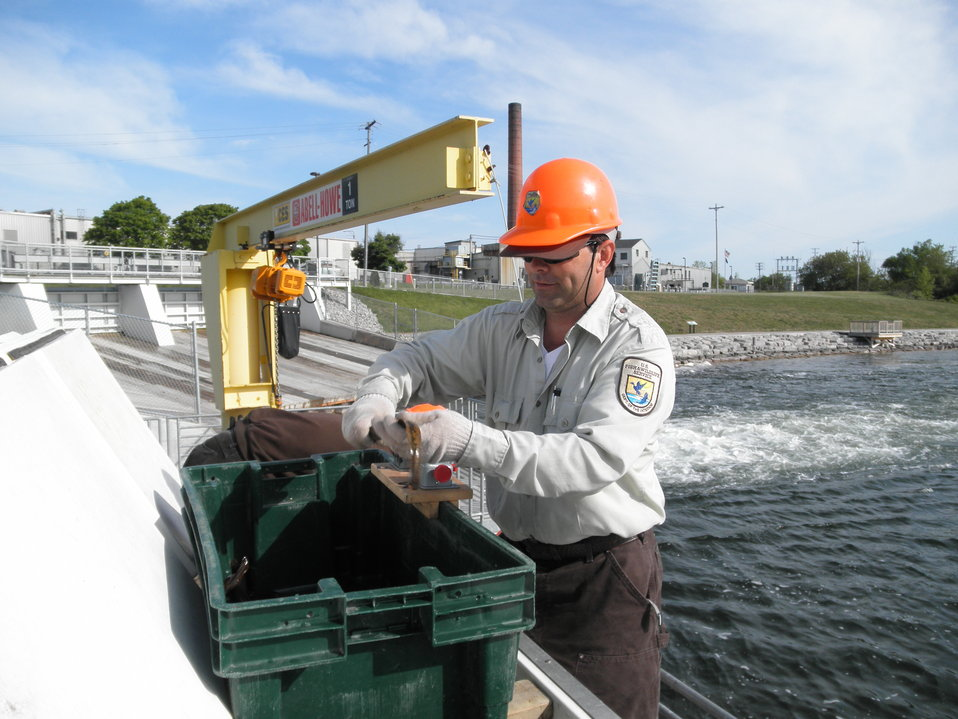 Service Employee Sexing a Sea Lamprey at the Cheboygan River in Michigan.