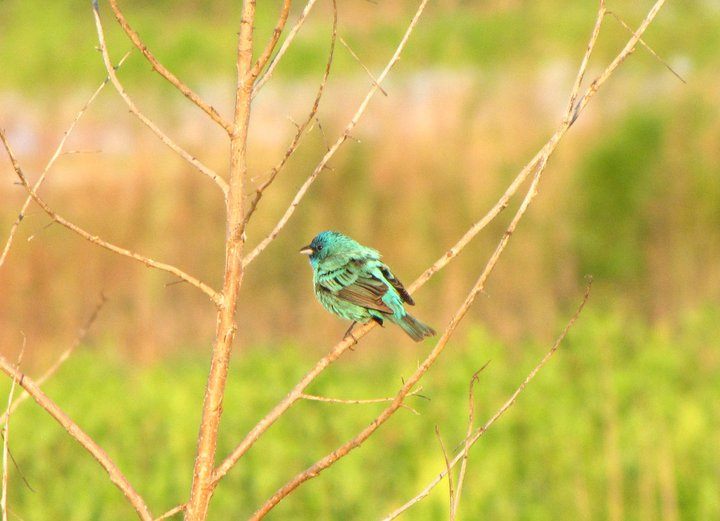 indigo bunting at sunrise