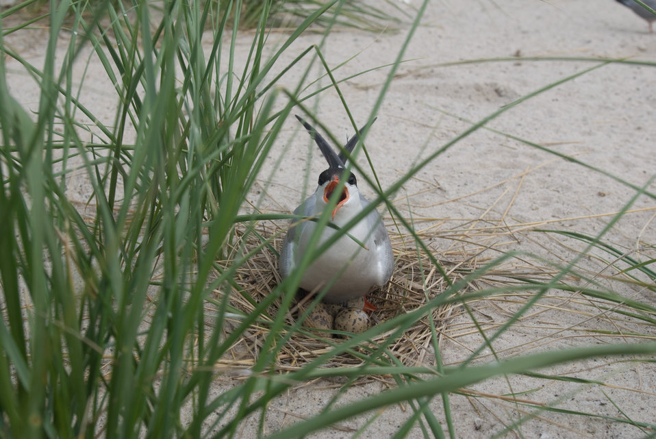 Tern at Monomoy National Wildlife Refuge