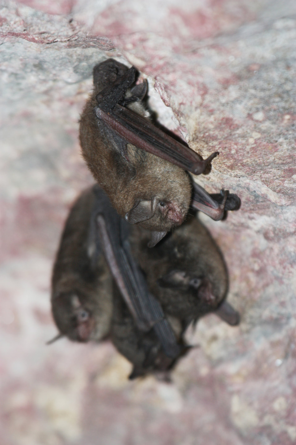 Indiana bats during a survey in Ohio.
