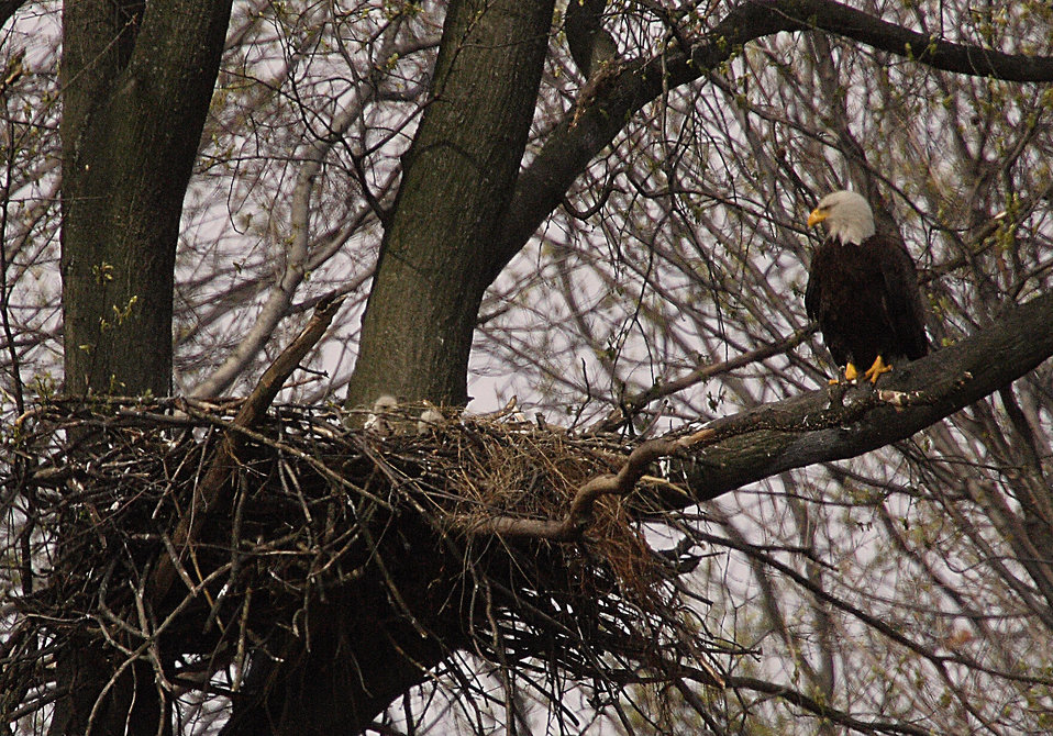 Photo of the Week - Bald eagle with young at John Heinz National Wildlife Refuge (PA)