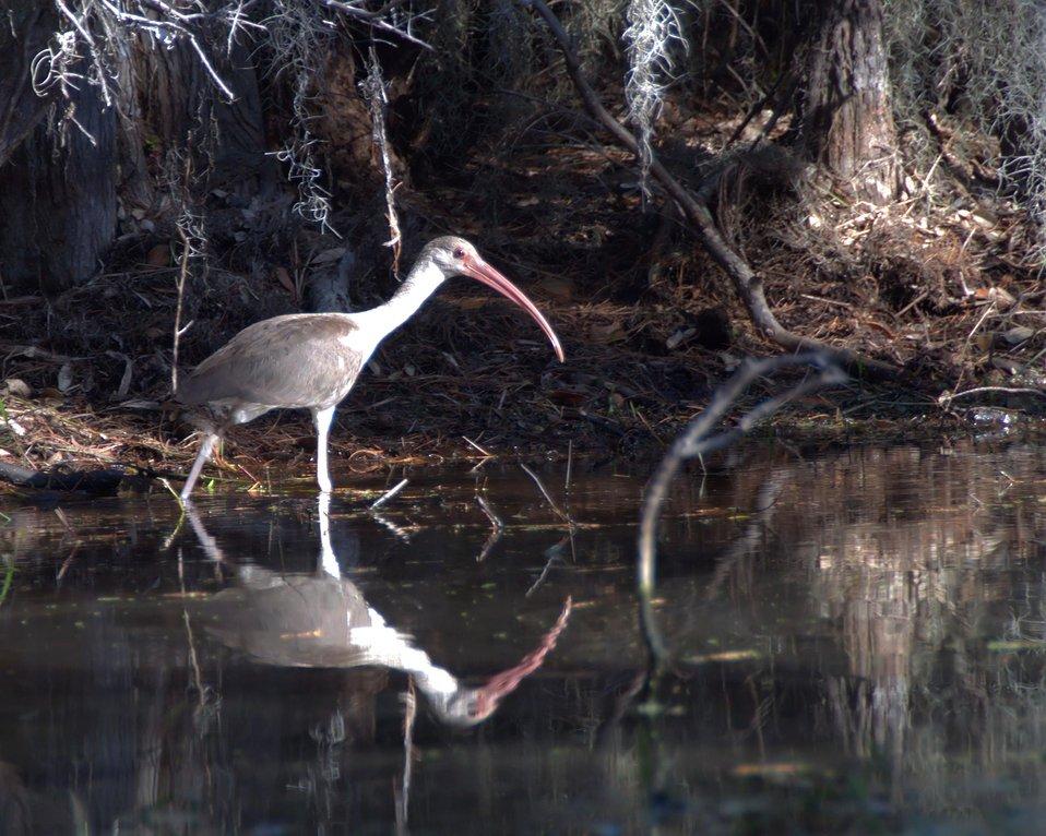 Ibis along Canal Run