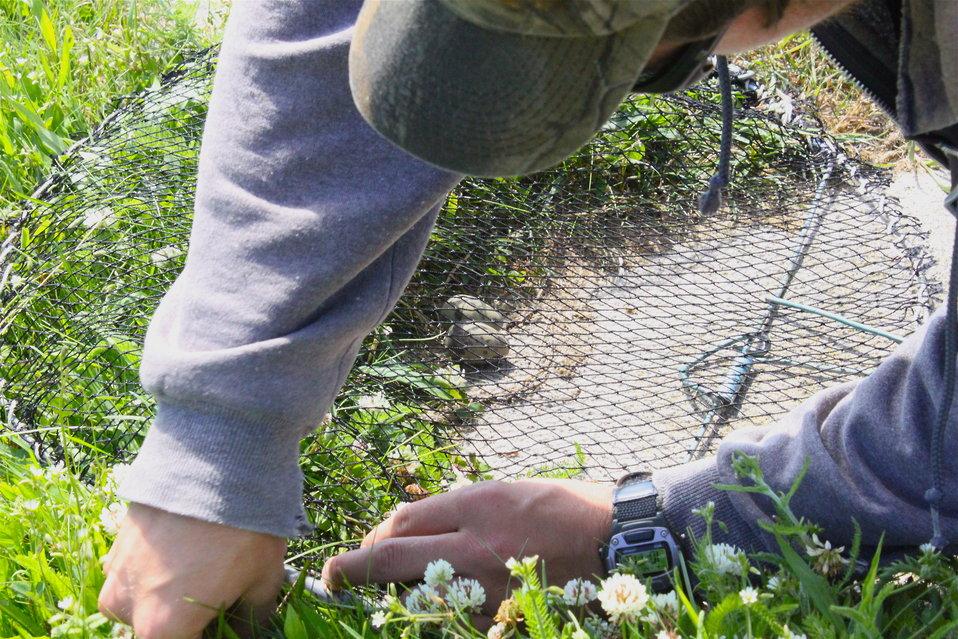 Setting Tern Traps