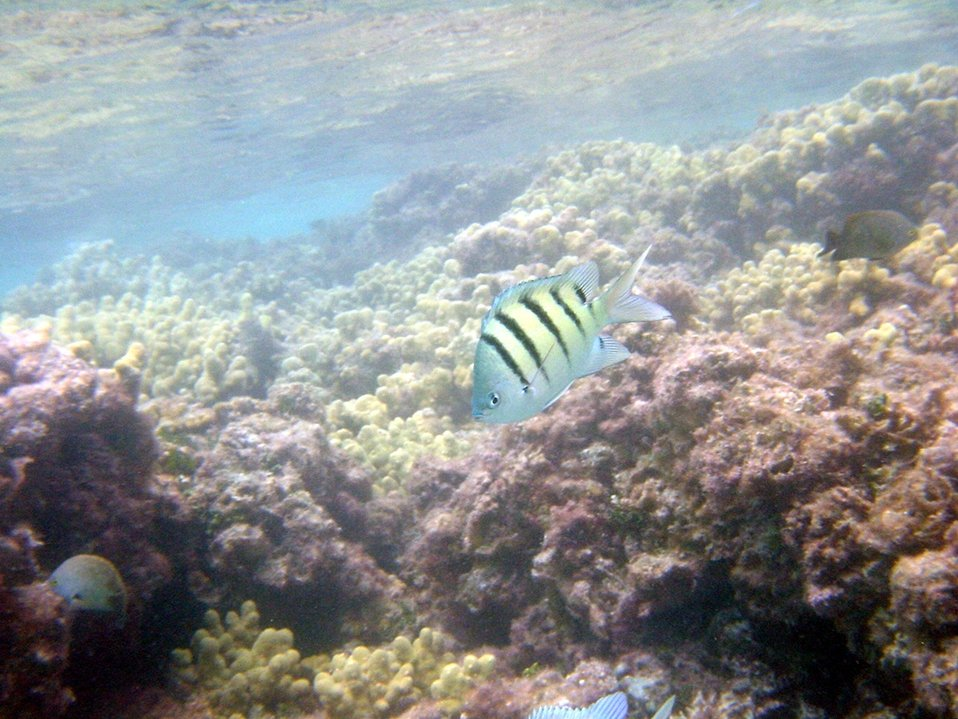 A sergeant major damselfish (Abudefduf abdominalis).  Hawaiian name is mamo.