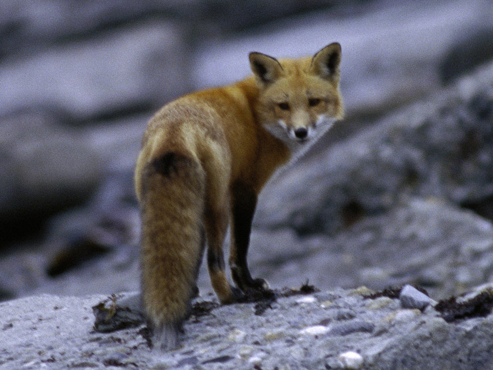 Photo of the Week - Red Fox at Sachuest Point National Wildlife Refuge