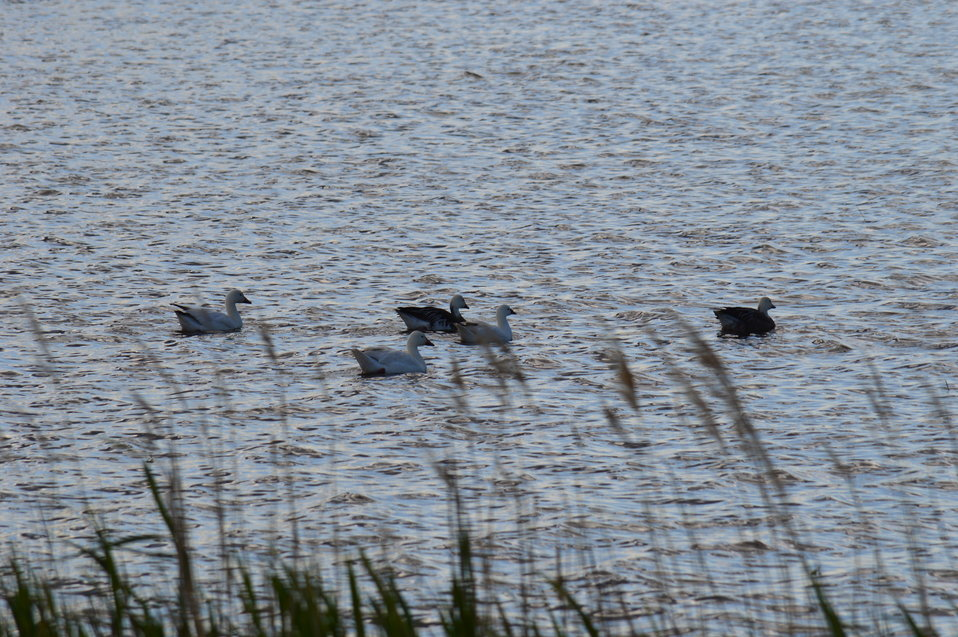 Flock of Snow Geese in Sand Lake