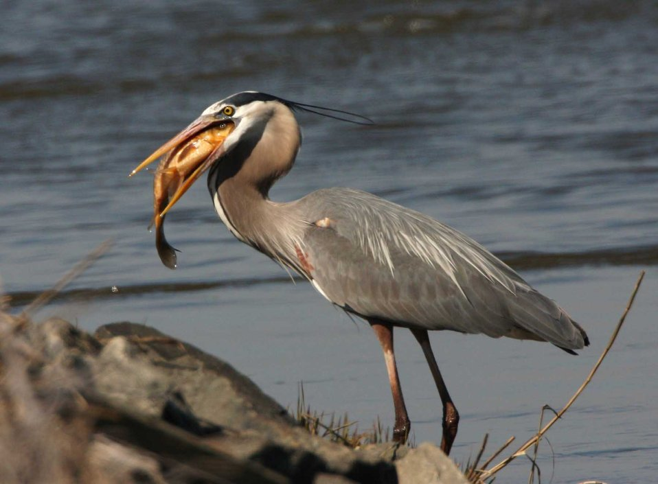 Great Blue Heron with big fish