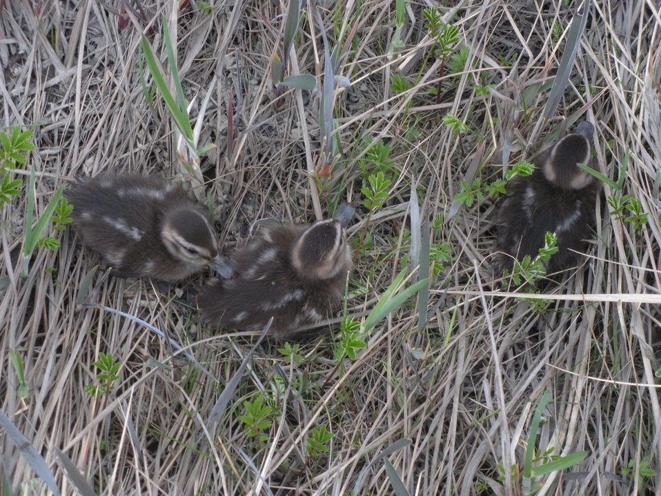 Pintail ducklings