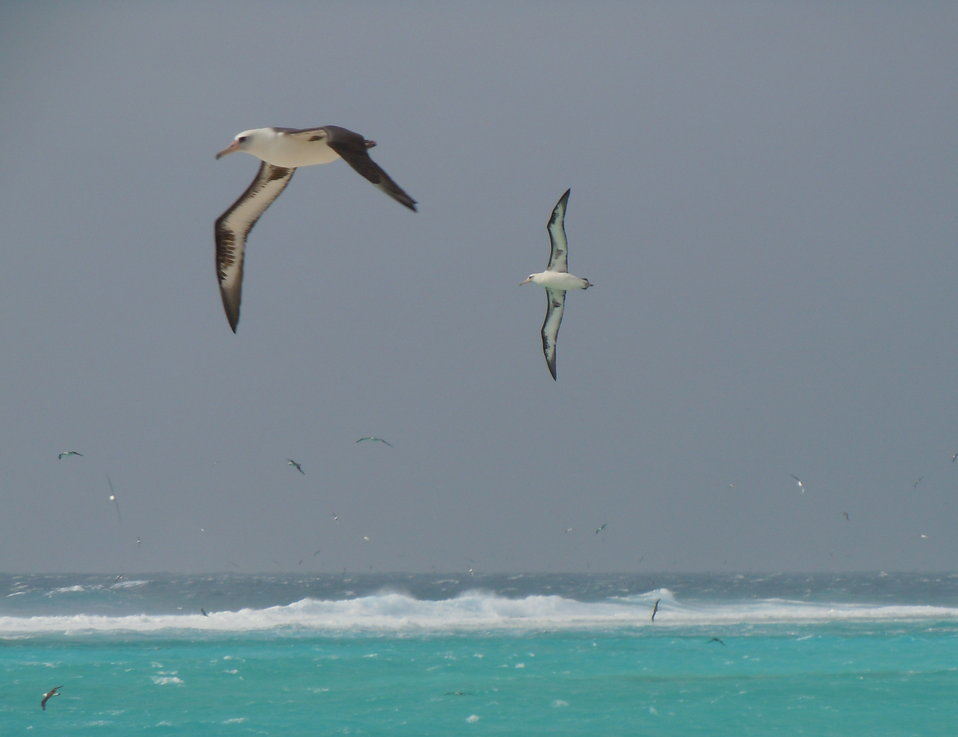 laysan albatross in flight, Sand Island