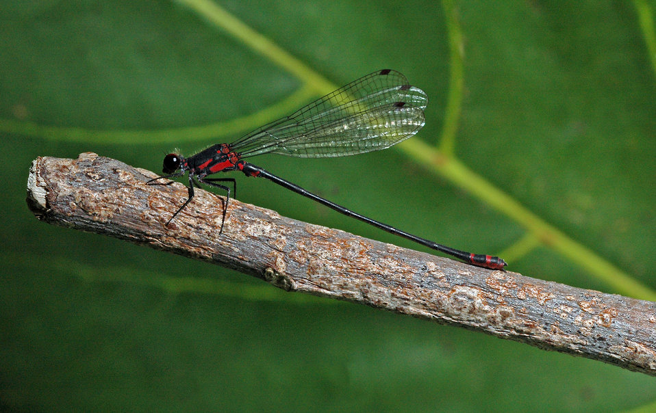 Damselfly - megalagrion pacificum